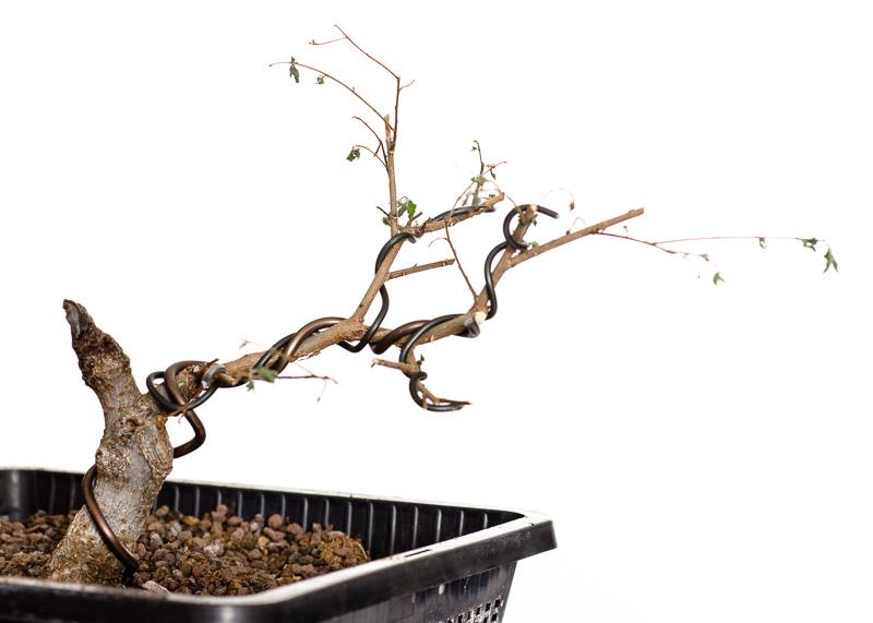Ulmus parvifolia thaiwan 2014 - frisch in Teichtopf umgetopft