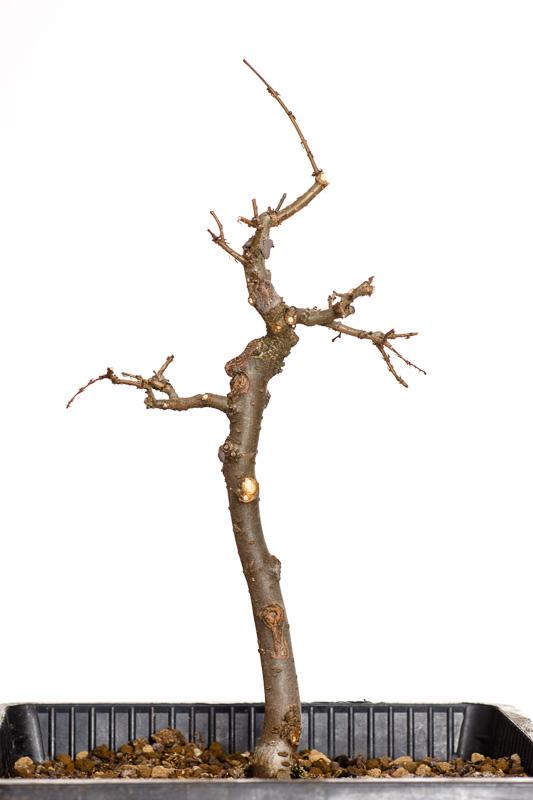 Zelkova serrata 2014 - in einen Teichtopf umgetopft und zurück geschnitten