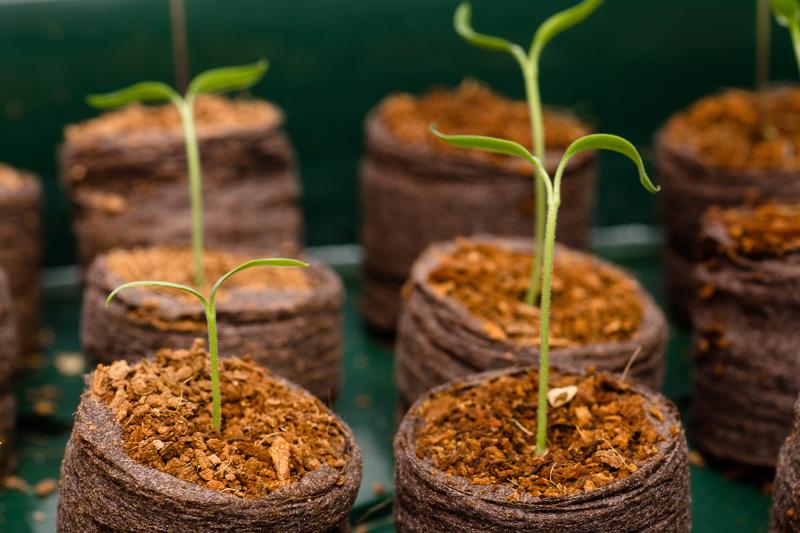 Chili-Pflanzen mit den ersten beiden Keimblättern