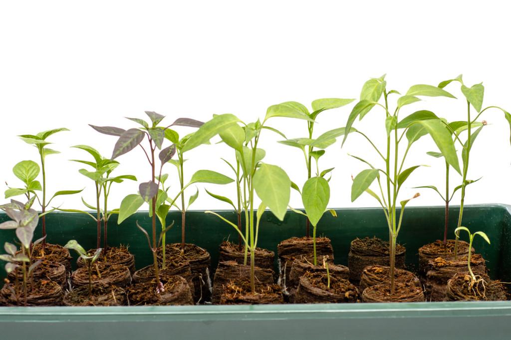 chili pflanzen auf dem bonsai balkon. Black Bedroom Furniture Sets. Home Design Ideas