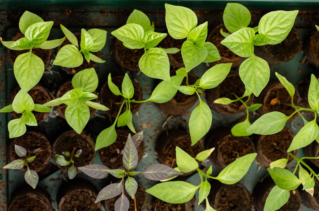 Chili Jungpflanzen nach sieben Wochen