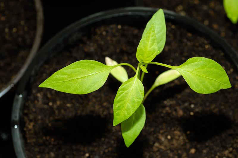 """Chili capsicum annuum """"Jalapeno NuMex Primavera"""""""