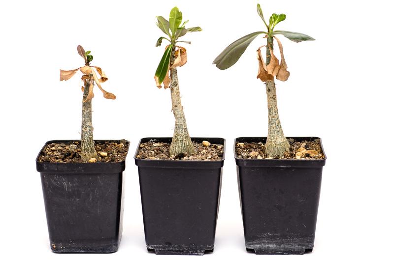 Drei Adenium-Hybriden im April 2014