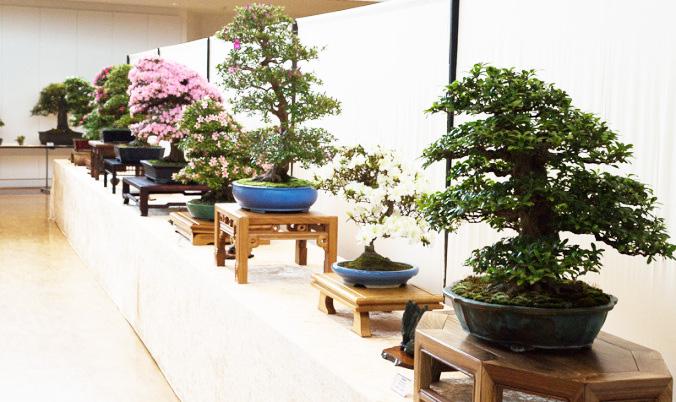 Bonsai-Bäume in Buchen 2014