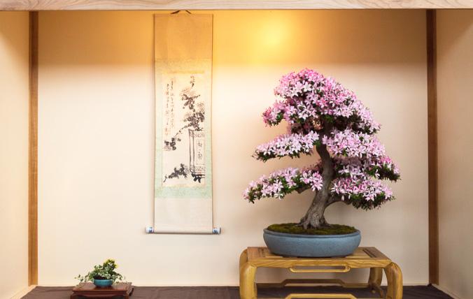 Satsuki-Azalee in einer Tokonoma