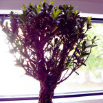 Baumkrone Buxus harlandii Bonsai-Baum