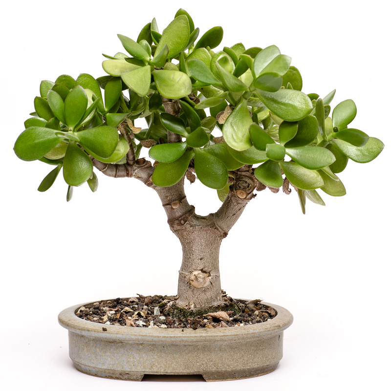 Crassula ovata im April 2014