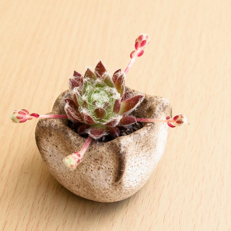Kusamono mini Hauswurz #10