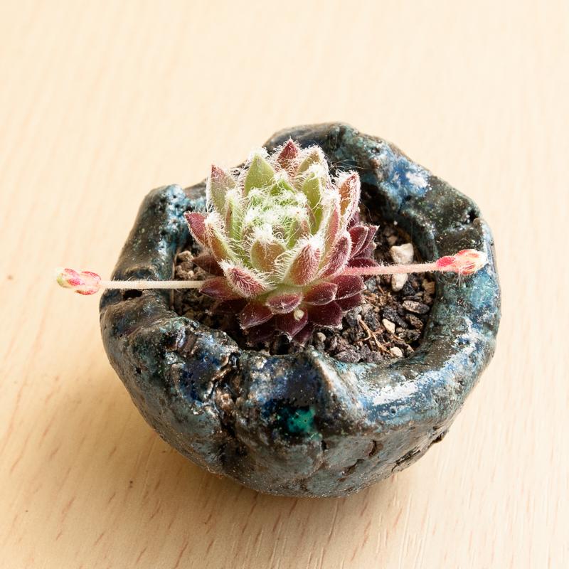 Kusamono mini Hauswurz #11