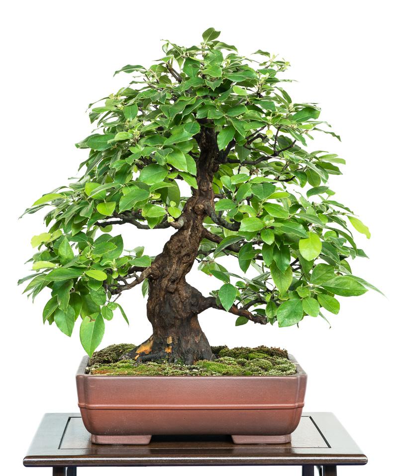 Pseudocydonia sinensis Bonsai