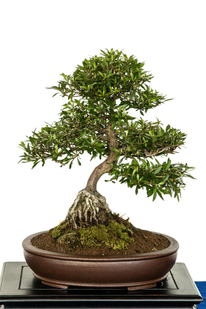 Kleine Rhododendron indicum als Bonsai