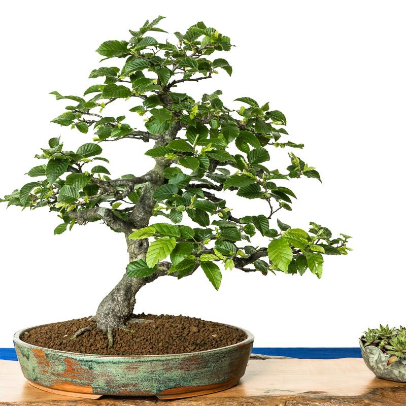 Carpinus betulus als Bonsai-Baum