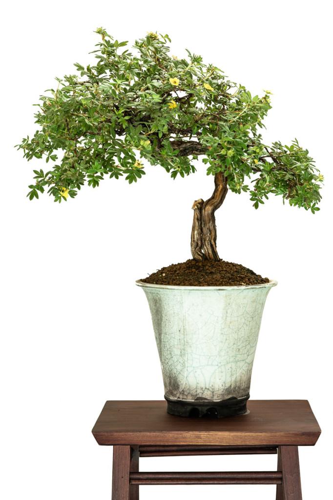 Potentilla fruticosa als blühender Bonsai-Baum