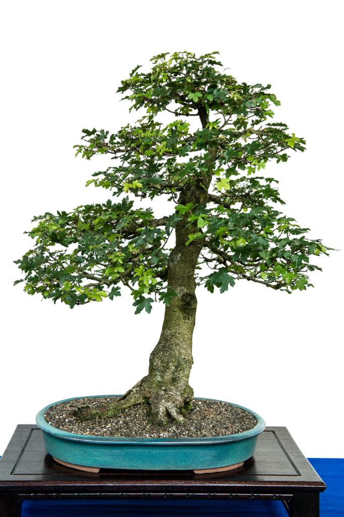 Feld-Ahorn als Bonsai-Baum