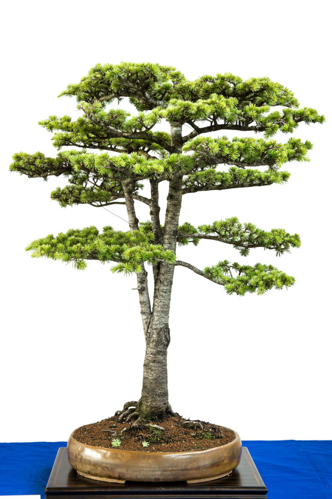 Cedrus libanii als Bonsai-Baum
