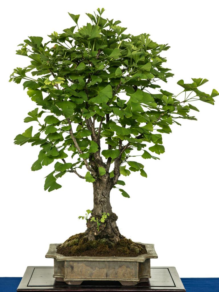 Ginkgo biloba als Bonsai-Baum