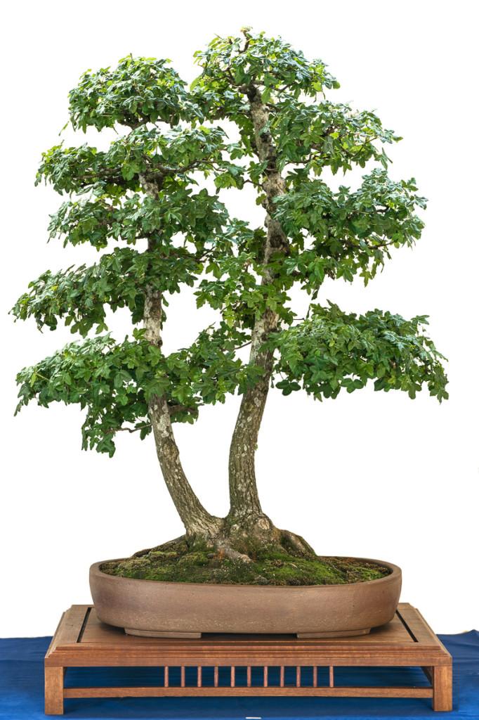 Acer mospessulanum mit Doppelstamm