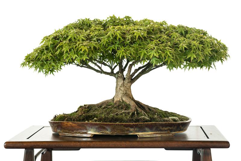Acer palmatum Kiyohime - Bonsai - 40 Jahr alt