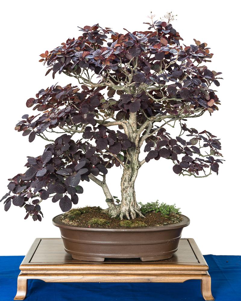Cotinus coggygria als Bonsai-Baum