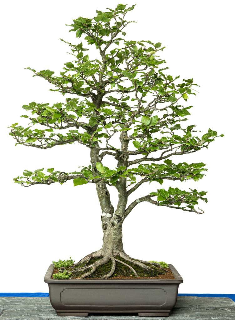 Fagus sylvatica als Bonsai-Baum