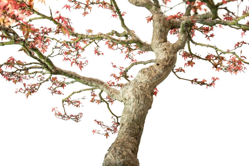Nahaufnahme vom Acer palmatum Seigen