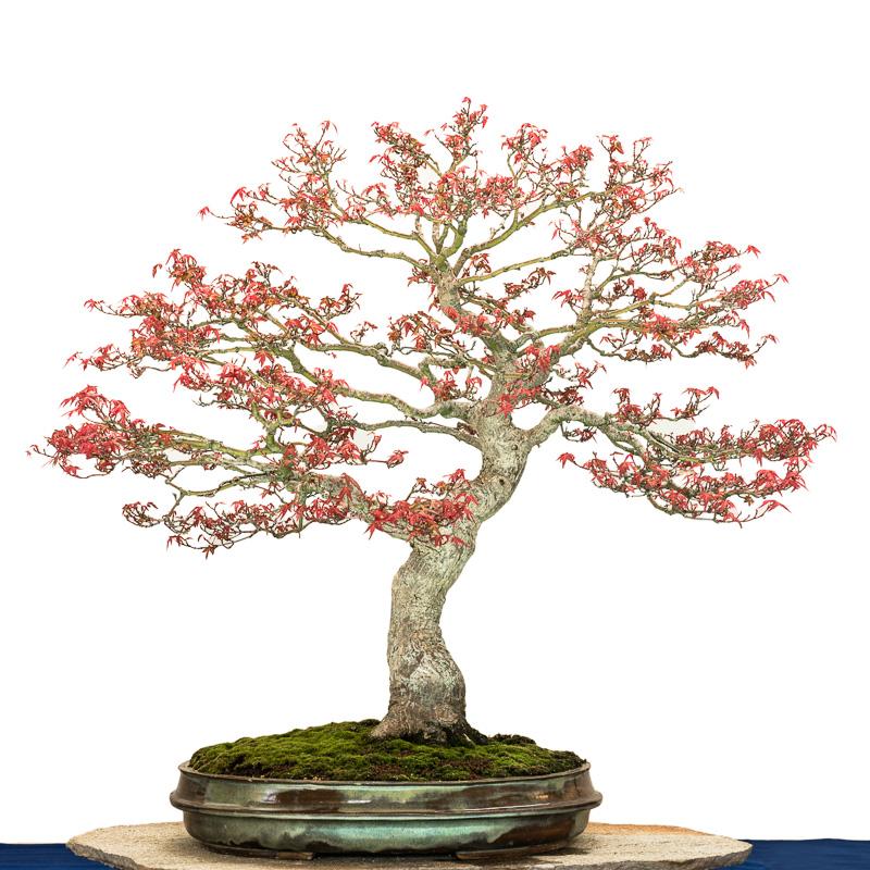 Acer palmatum Seigen als Bonsai nach einem Blattschnitt