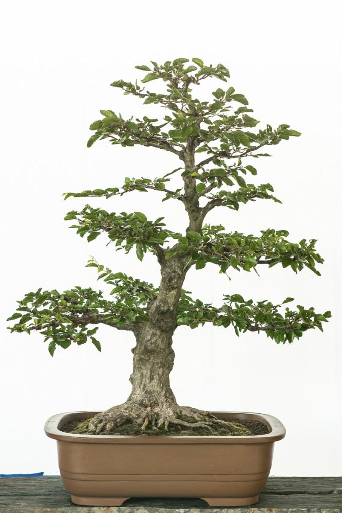 Carpinus turczaninowii Bonsai-Baum