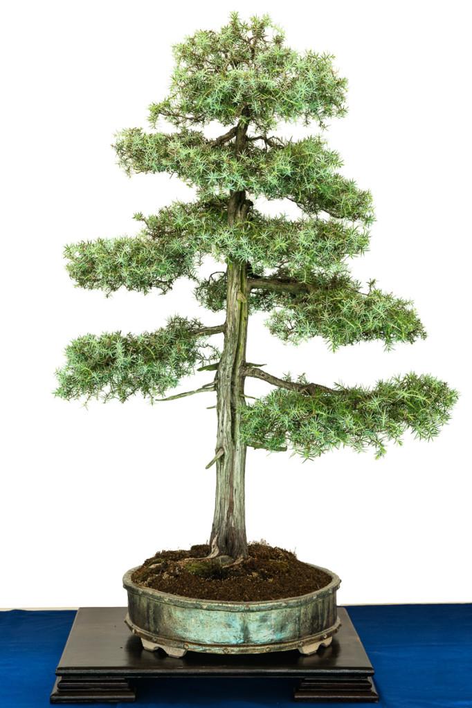 Juniperus communis in streng aufrechter Gestaltung