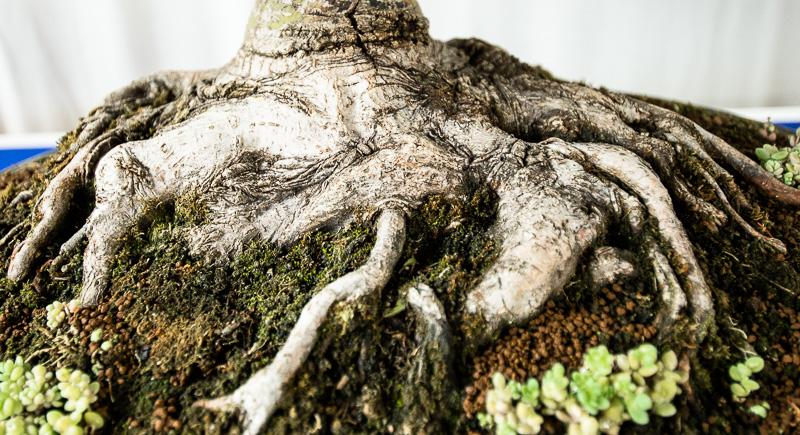 Nebari von einem Acer palmatum Kotohime
