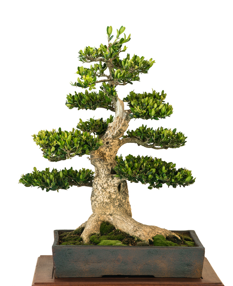 Buxus sempervivum als Bonsai-Baum