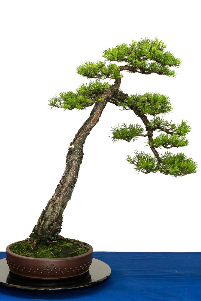 Pinus sylvestris als alter Bonsai-Literat
