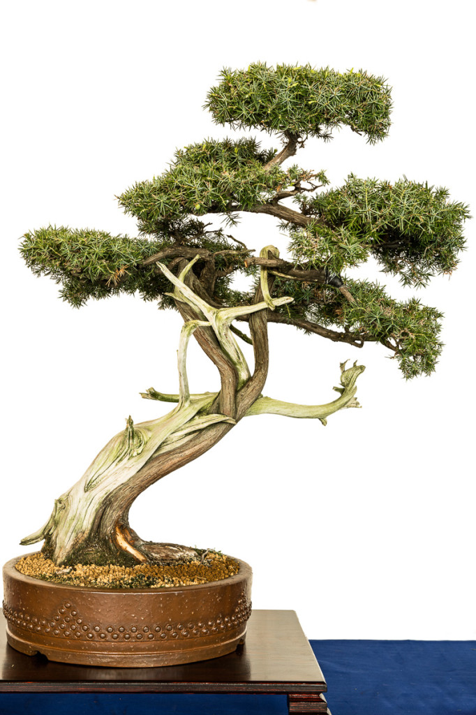 Juniperus rigida als Bonsai mit Totholz