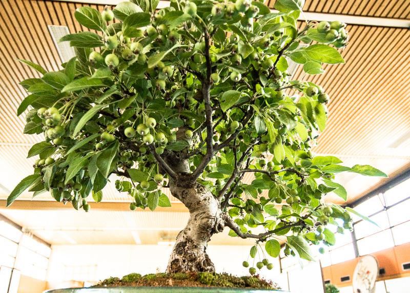Apfelbaum mit grünen Früchten als Bonsai