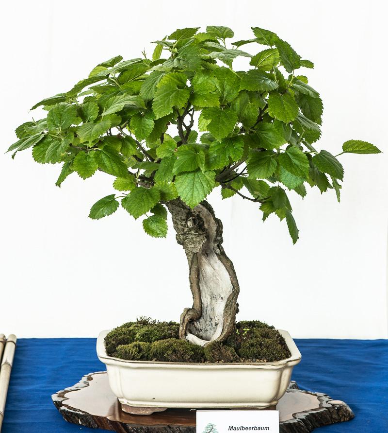 Maulbeerbaum als Shohin-Bonsai