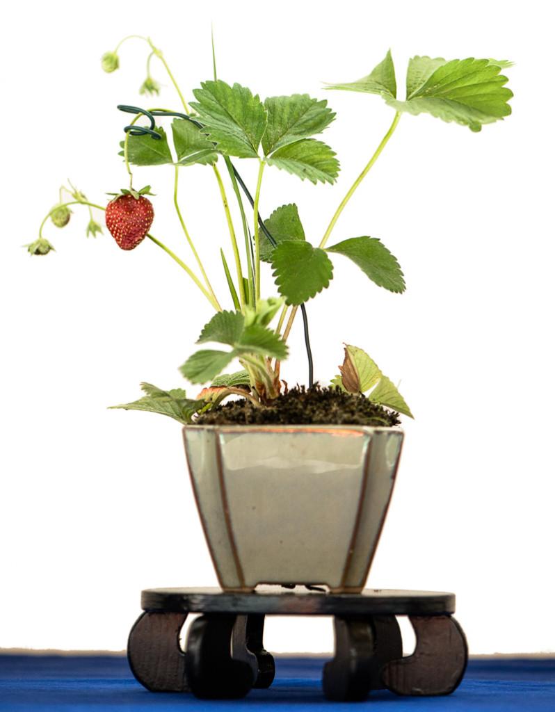 Erdbeer als Beistellpflanze - Kusamono