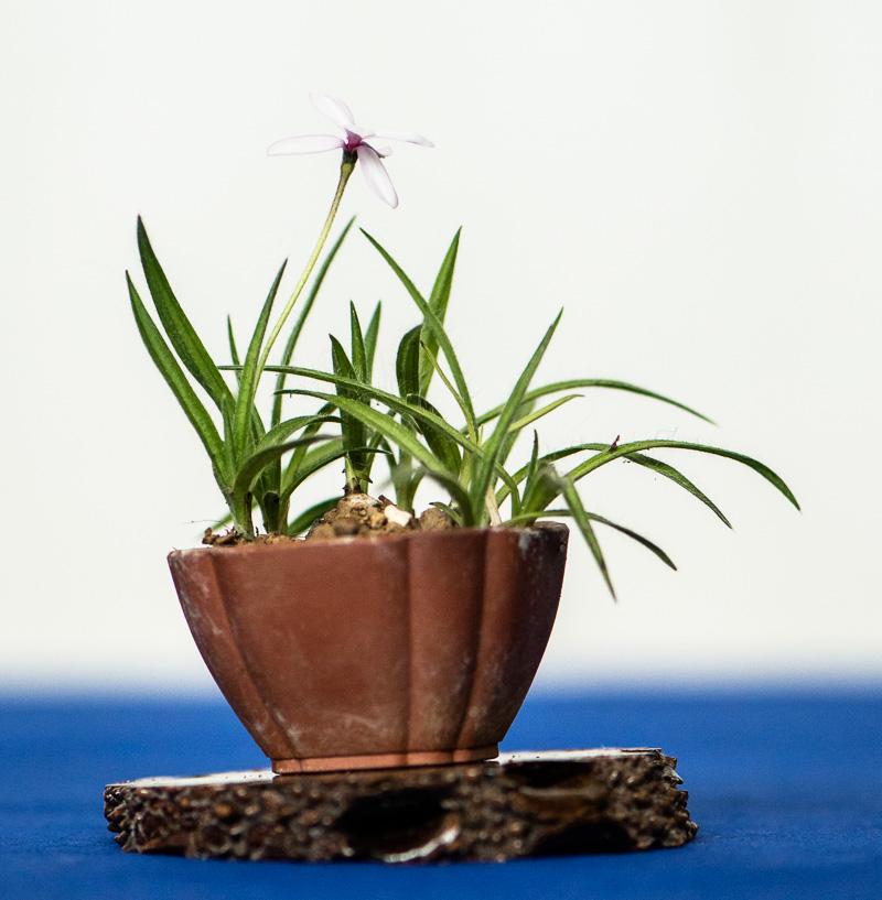 Blühende Akzentpflanze