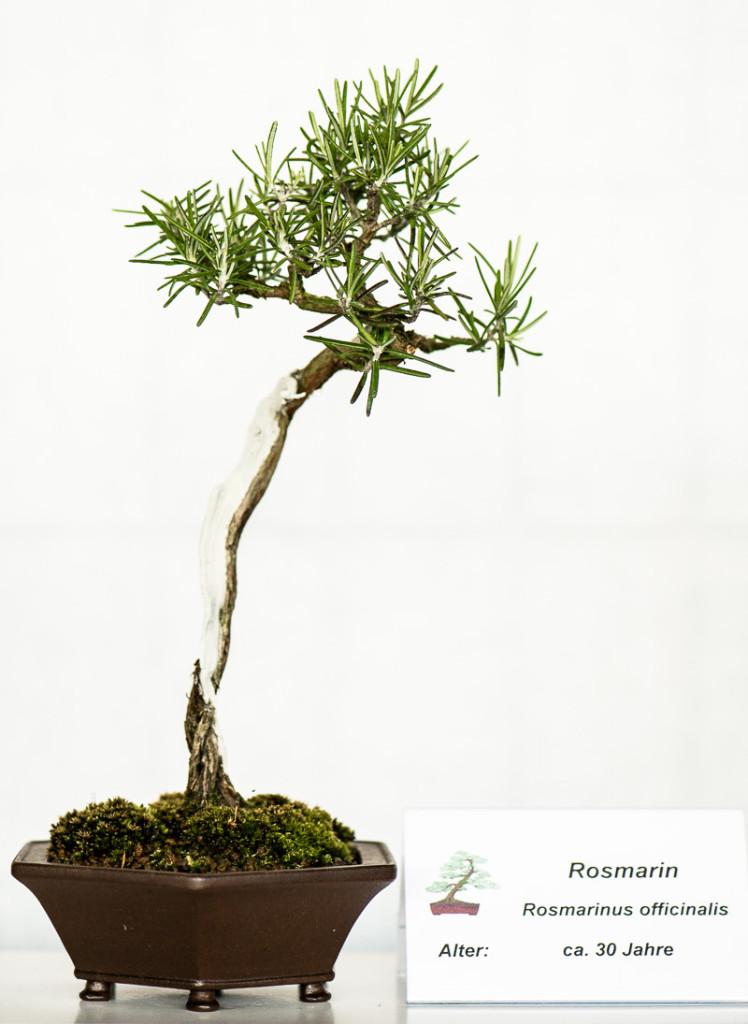 Rosmarin (Rosmarinus officinalis) Shohin-Bonsai