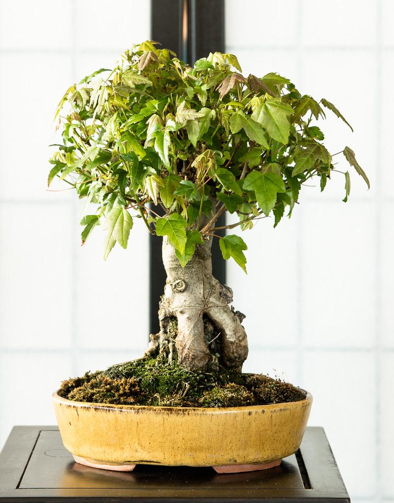 Dreispitzahorn (Acer buergerianum) Shohin-Bonsai