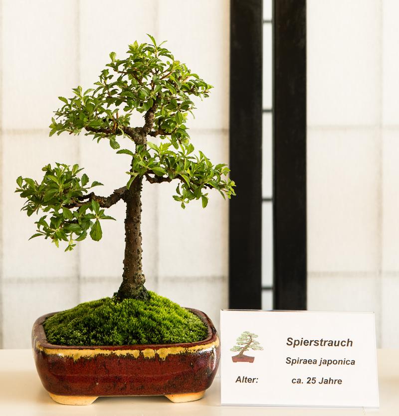 Spierstrauch (Spiraea japonica) Shohin-Bonsai