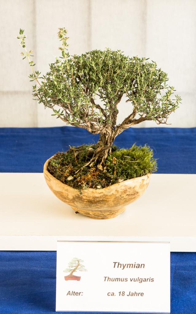 Thymian (Thymus vulgaris) als Shohin,Bonsai