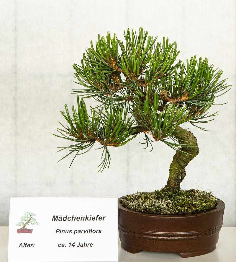Shohin Pinus parviflora - 14 Jahre alt