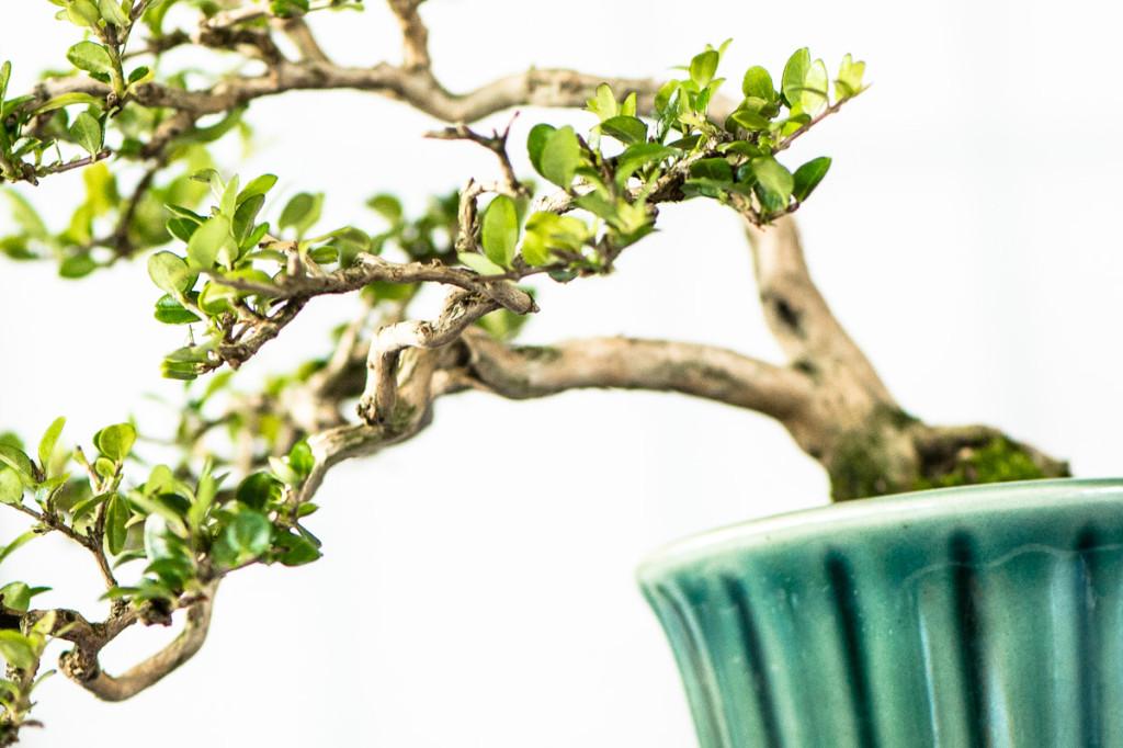 Shohin-Bonsai auf der Bonsaiausstellung im Aichtal