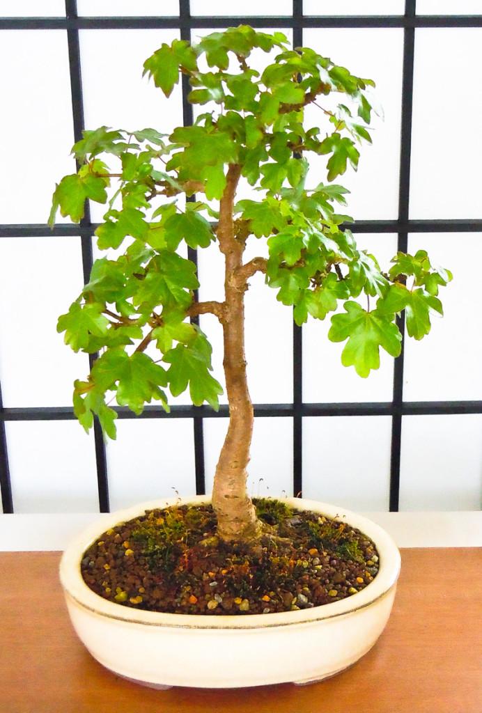 Kleiner Feld-Ahorn (Acer campestre) als Bonsai
