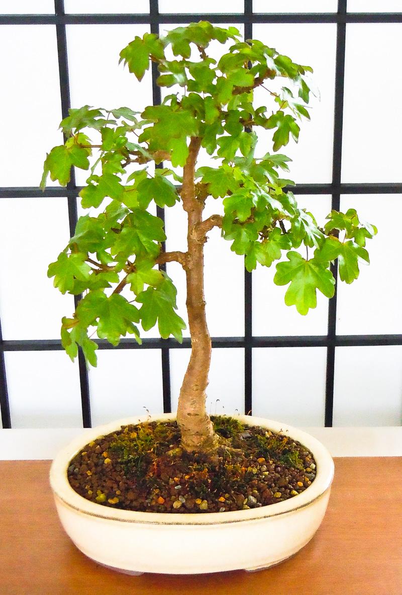platz 6 beliebtester outdoor bonsai feld ahorn. Black Bedroom Furniture Sets. Home Design Ideas