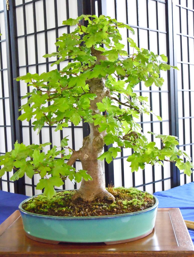 Feld-Ahorn (Acer campestre) als Bonsai-Baum