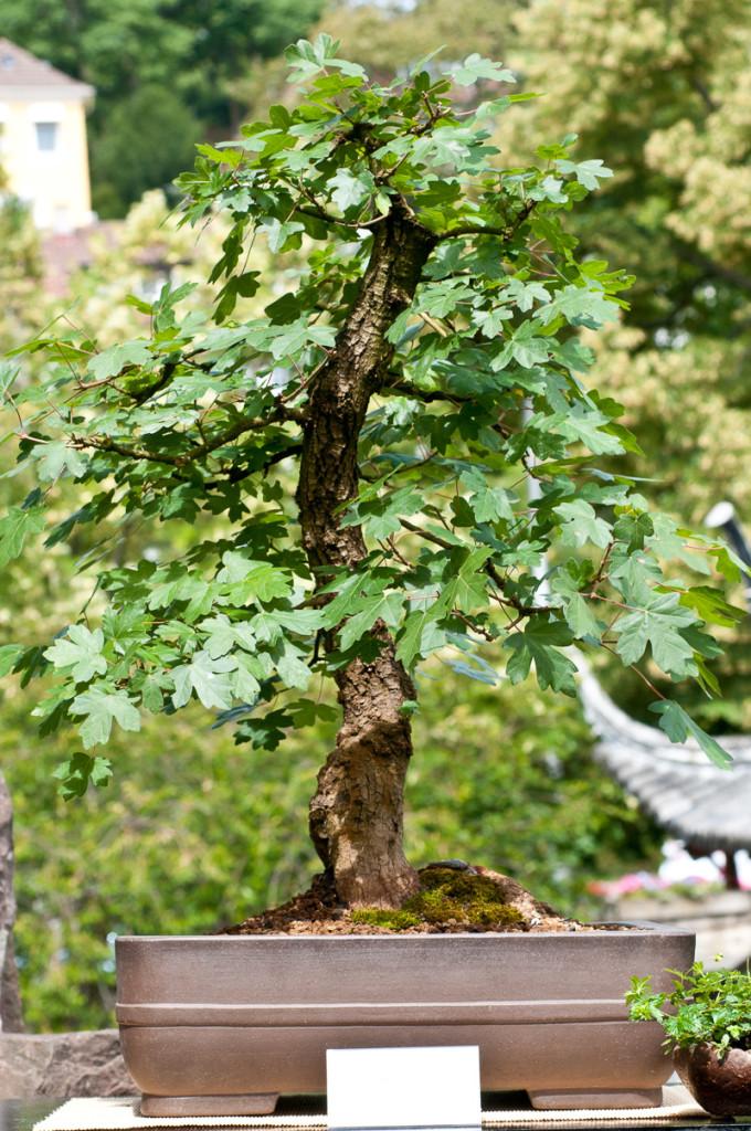 Acer campestre als Bonsai-Baum