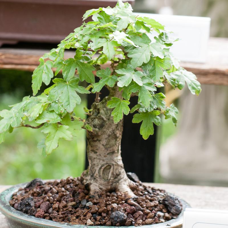 Shohin-Bonsai eines Feld-Ahorn (Acer campestre)