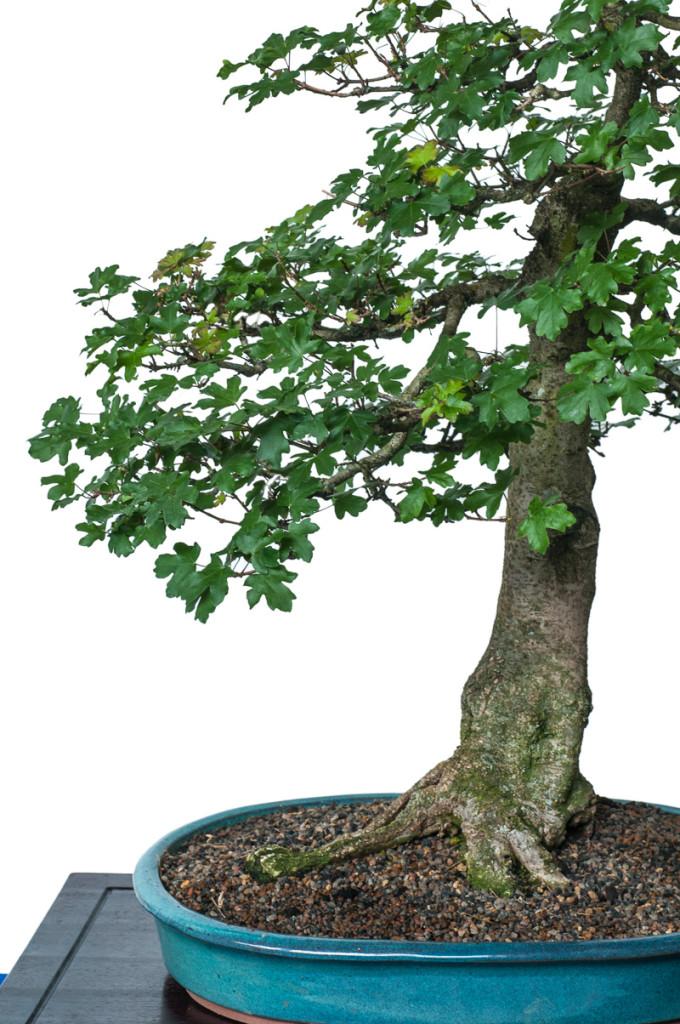 Acer campestre als Bonsai in eine Bonsaischale