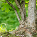 Nebari eines Feld-Ahorn (Acer campestre)