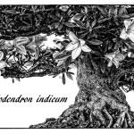 Bonsai Rhododendron indicum in Schwarzweiß